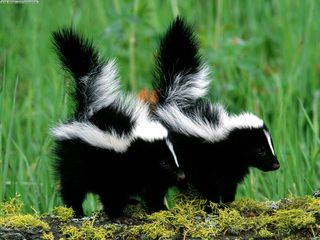 Skunk couple