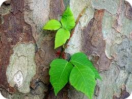 What poison ivy looks like