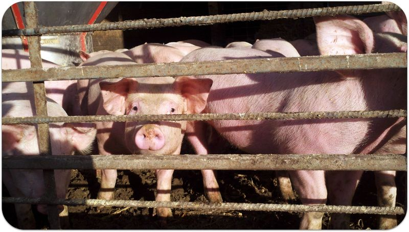 Thanksgiving pigs grateful for turkeys