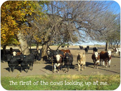My running cows