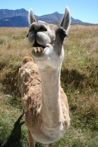 Stock xchng 781510_happy_alpaca