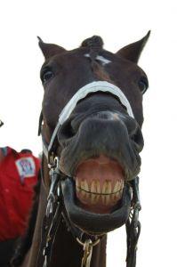 Stockxchng 822158_horse_smile
