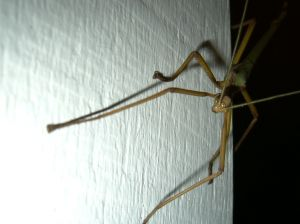 Stock xchng stick bug source 46764_stickinsect