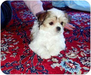 Amelia the Shih Poo as a puppy